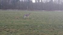 *** Wolf bei Saalburg ***