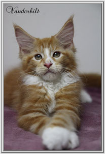 Mainecoon red white
