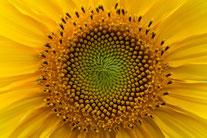 Sonnenblume. Foto: Roland Zschornack
