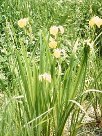 Sumpfschwertlilie   Foto: Hermann Saur