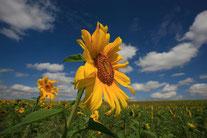 Sonnenblumen. Foto: Manfred Hennefarth