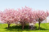 日本 北海道 札幌 青空と雄大な雲川沿いの桜並木