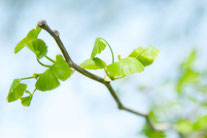 日本 北海道 札幌 新緑の葉