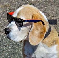 un chien beagle avec des lunettes devant les yeux par coach canin 16 educateur canin en charente