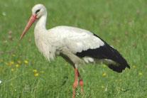 Storch, Foto: NABU Wiesloch