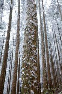 杉の幹を覆う針状樹霜 東山堅一