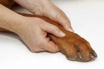 Osteopathische Behandlung an der Pfote eines Hundes