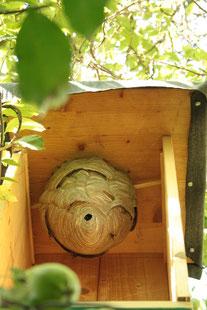4 Wochen später ist zu erkennen, dass das Volk das Nest weiter ausgebaut hat.