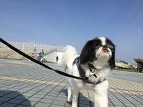 辻堂海浜公園でお散歩中。今日お預かりしている犬くんたちは、全員藤沢から遊びにきています。
