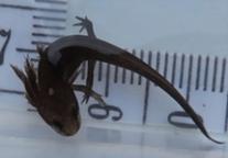 アカハライモリ幼生45mm