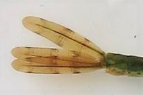 アオイトトンボヤゴ 尾鰓模様