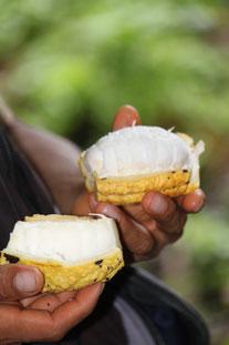 Regenwald, Kakaofrucht