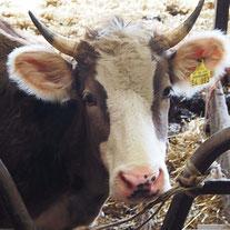 Tierleid, Rettung vor dem Schlachttod, Alternative Kuhpatenschaft Vaihingen/Enz, Kreis Ludwigsburg Baden-Württemberg