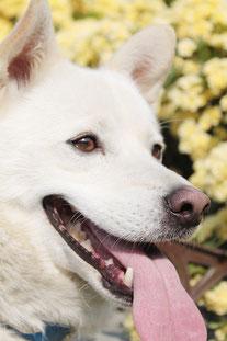 飼い主により、5ヶ月で飼育放棄され、定時定点回収で動物指導センターに収容され、たった1泊でパルボにかかり、引き出したあと生死を彷徨ってから生還した保護犬