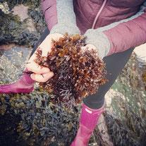 Carrageen Seaweed