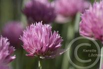 Allium schoenoprasum - Schnittlauch (grobröhrig)