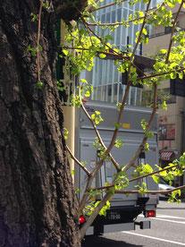 ▲桜から若葉へ