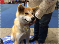 Japan Akita, Umeko of Kishi Ken, Hund, Ausstellung, Hundeausstellung, Zucht, Hundezucht, Internationale Rassehunde Ausstellung Kassel