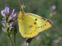Weißklee-Gelbling auf Luzerne