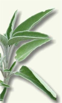 Hojas de Salvia