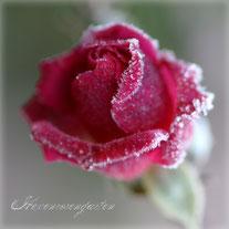 Rosen Hexenrosengarten Rosenblog Lavender Dream Blüte Knospe Frost Rosiger Adventskalender