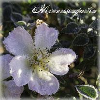 Rosen Hexenrosengarten Rosenblog Blütenblatt Reine de Violettes lila blau violett Herz