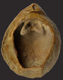 Terebratula ampulla (terebratulid), Pliozän, Argiano bei Montepulciano, Italien