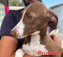 Primula (Pontarelli M3) - geb. 06/2021