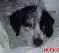 Bella 2 (8 Welpen) - geb. ca. 06/2021