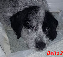 Bella 2 (8 Welpen) - geb. 06/2021