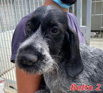 Balto 2 (8 Welpen - R1) - geb. 06/2021