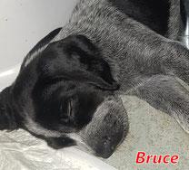 Bruce (8 Welpen) - geb. ca. 06/2021