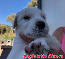 Angioletto Bianco - geb. ca. 08/2020