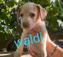 Waldi - Reg. Lanusei - geb. ca.05/2020