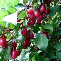 Elaeagnus multiflora, olijfwilg, bessenstruik, bessenstruiken, fruit, bessen