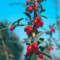 goji bes, lycium barbarum, bessenstruik, bessenstruiken, bessenplant, bessen, fruit, tuin, kweken