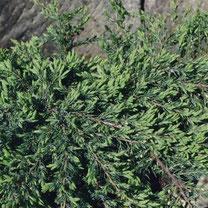 jeneverbes, juniperus comunis, bessenstruik, bessenstruiken, bessenplant, bessen, fruittuin