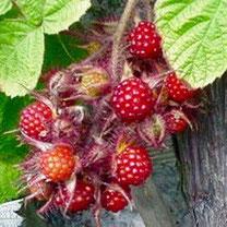loganbes, loganbessen, loganobaccus, rubus, bessenstruik, loganberry, loganberries, bessenstruiken, fruit, bessen