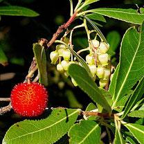 aardbeienboom, arbutus unedo, bessenstruik, fruit, bessen, bessenstruiken