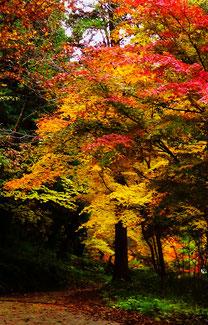 夕森公園川上川。中津川の里山の美しい紅葉真っ盛り付知峡美しい紅葉 紅葉まっさかり見所みどころ見ごろ中津川付知川河畔見所散策鉄道跡地遊歩道苔地衣類山野草しょうじょうばかまさんさくりどうとさみずきもみじやまざくらすみれしでこぶし