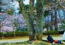 美しき山里中津川花々を訪ねて芽吹き新緑福岡ローマン渓谷オートキャンプ場花吹雪田瀬下野付知加子母恵那