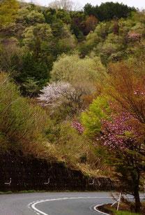 美しき山里中津川花々を訪ねて芽吹き新緑福岡田瀬下野付知加子母恵那