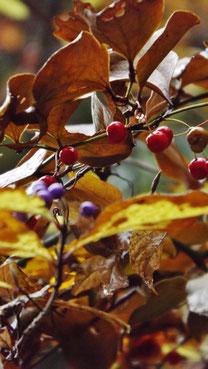 夕森公園川上川。中津川の里山の美しい紅葉真っ盛り付知峡美しい紅葉 紅葉まっさかり見所みどころ見ごろ中津川付知川河畔見所散策鉄道跡地遊歩道苔地衣類山野草もみじやまざくらしでこぶし