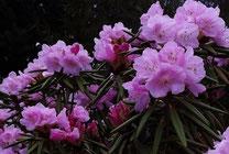 美しき山里中津川花々を訪ねてしゃくなげ石楠花芽吹き新緑