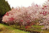 美しき山里中津川花々を訪ねて芽吹き新緑福岡大橋から付知川を望む田瀬下野付知加子母恵那