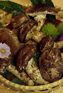 美菜ガルテンふるかわ きのこ料理松茸料理国産松茸地物きのここうむそうぼうずいくちしばもちきしめじしろまいたけさるまいろうじあみたけこうたけ木曽産天然きのこ