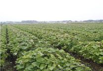 宮崎県有機ごぼう畑
