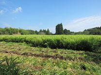 宮崎県有機しょうが畑