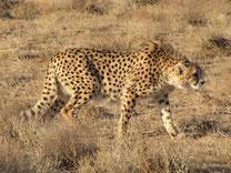 guepard d'asie