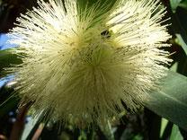 Blüte Sizigyum Jambos